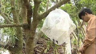 Phuong phap bat ong ve nuoi