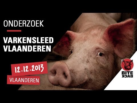 Pigs Suffered in Flanders Trailer