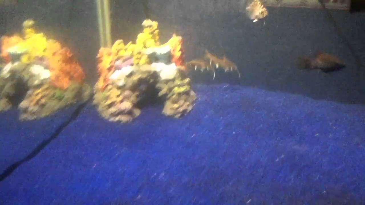 My brackish water fish tank w sharks youtube for Google fish tank mrdoob