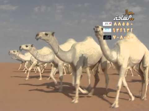منقية الشيخ / علوش بن ضيدان بن هويدي العجمي ..