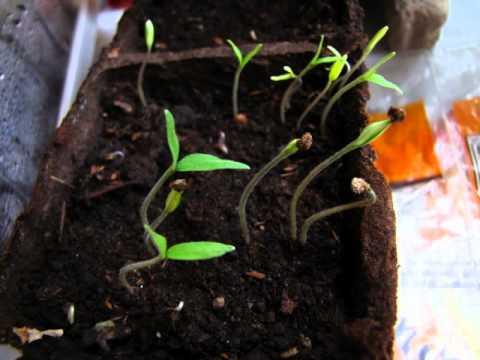 Crecimiento de semillas de tomate youtube - Cuando plantar tomates ...