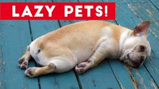 Laziest Pets   Cute and Funny Animals Compilation of 2017   Funny Pet Videos