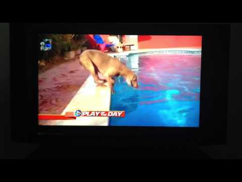 Dog vs Frisbee vs  Pool GMA good morninig america - Weimaraner never give up !