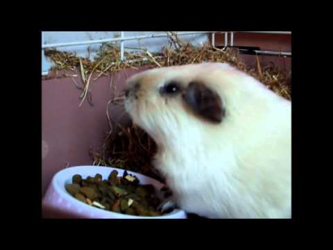 Guinea pig neutering / castration : Casper September 2012
