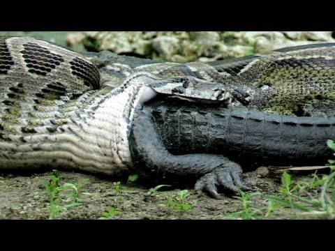 Worlds Biggest Snake Eating Hippo Python eats alligator 02,