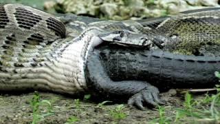 Python memakan aligator