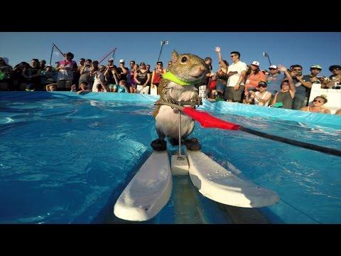 Верверичката Твиги е вистински професионалец за скијање на вода