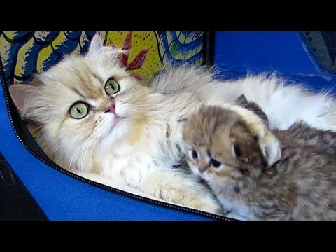 12 06 18 Persian kitten, Kettle, plays patty cake with mom