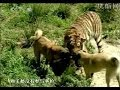 Turkish Dog Kangal Attacking Lion & Tiger !!!