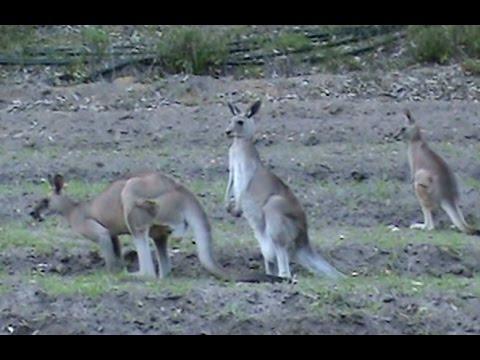 Beekeeping: Kangaroos & Wood Ducks At My Main Bee Site.