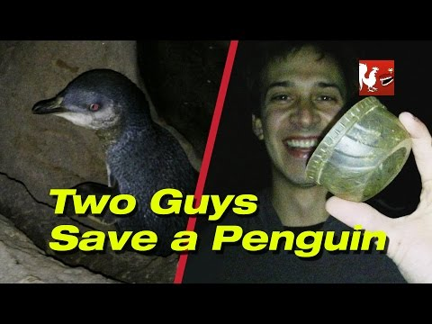 Two Guys Save a Penguin - RT Life