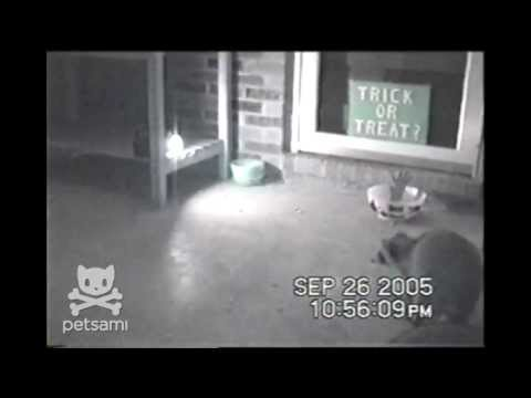 Raccoons get caught off-guard trying to steal Halloween candy