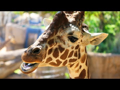 Giraffe Race to Celebrate World Giraffe Day!