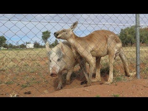 Kangaroo và lợn giao phối với nhau suốt hơn 1 năm