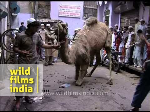 This poor camel knows it's about to be slaughtered