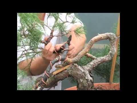Yamadori Bonsai, demonstração de um pinheiro negro