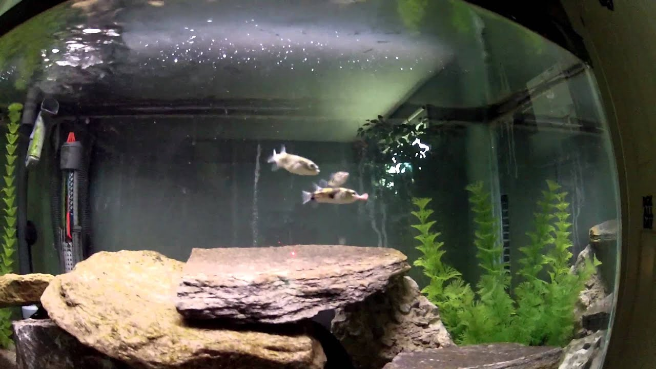 Amazon Puffer Fish fighting over a worm - YouTube