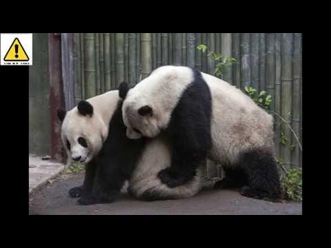 Cho gấu trúc xem