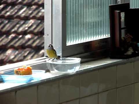 Pássaro Cambacica cantador e tomando banho.kkkkk