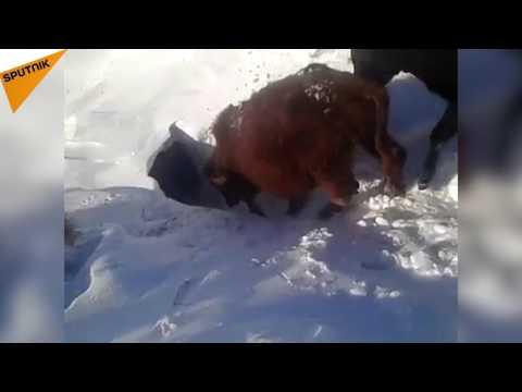 فيديو.. أين تختفي أبقار الثلوج؟!