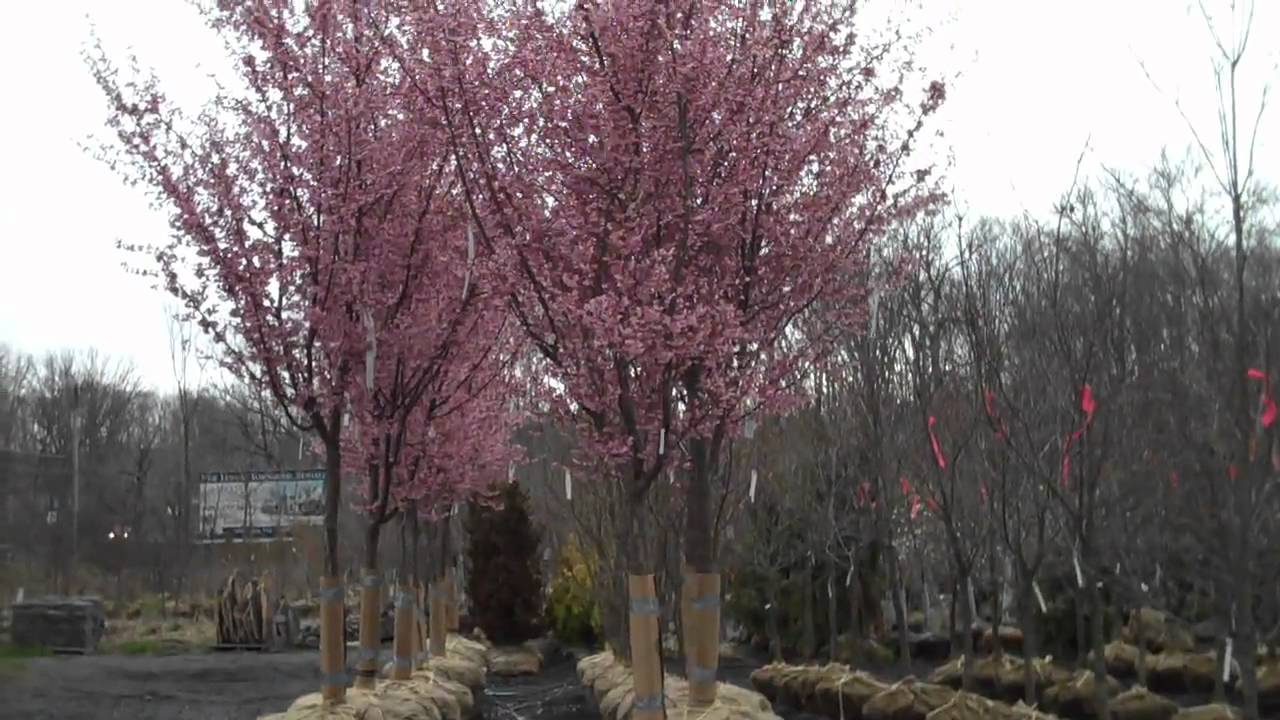 Kwanzan cherry trees for sale from chris orser landscaping for Cherry trees for sale