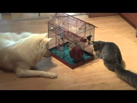 Maine Coon and Wolf Dog eyeing some hamsters