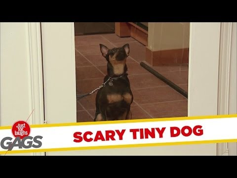 Cute Tiny Dog HORRIFIES People