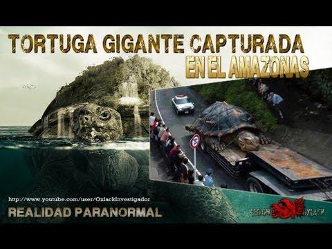 TORTUGA GIGANTE encontrada en el Rio Amazonas @OxlackCastro RT