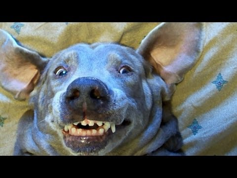 F-N with the dog ,more funny dog Memes in motion, Funny dog Meme the troll face dog will crack you up as she make one funny face after another Staring Super Britney the Worlds Funniest talking Weimaraner doi...