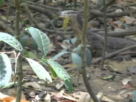 video clip - monitor lizards fighting at the underground river park - palawan - sidneysealine