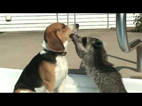 浣熊表示:該死的米格魯把食物給我吐出來!