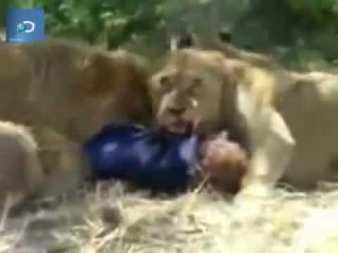 Sư tử ăn thịt người