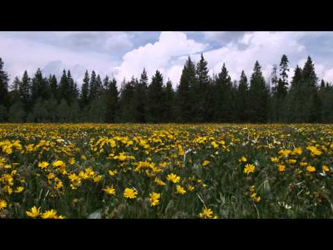 Shot of a field of sunflowers and pine trees.