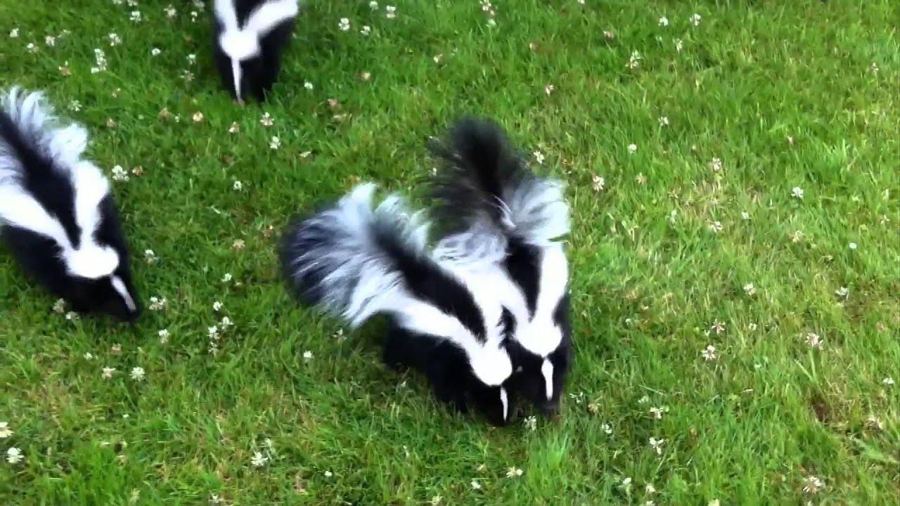 Baby Skunks - YouTube