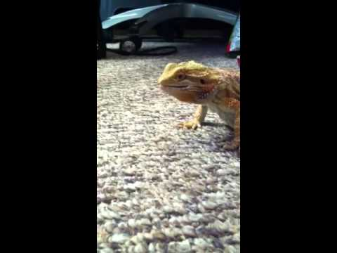 Bearded Dragon Eats a super worm