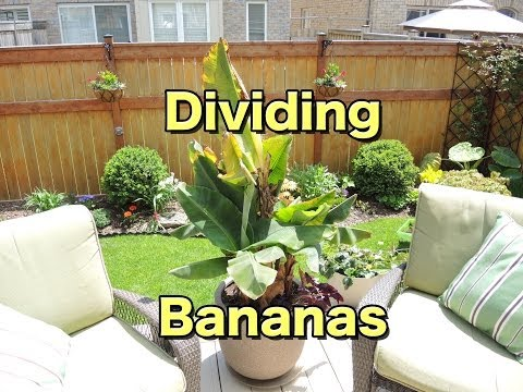 Dividing and Transplanting - Dwarf Banana