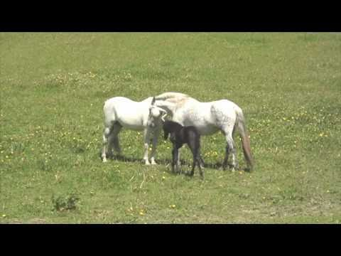 Andalusian mare with new foal meets stallion (dad)