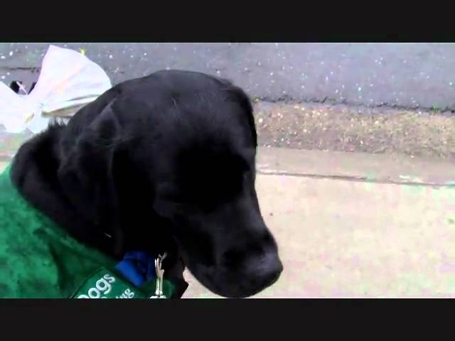 Guide Dog Puppy in Training-Modesto Marathon