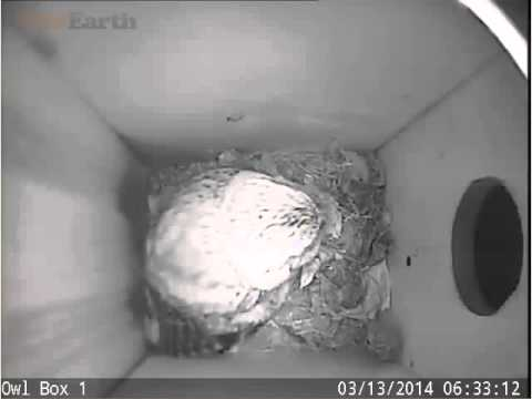 PixContrllerPennsylvaniaOwlCam 13 march 2014 Eastern Screech Owl