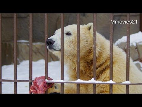 旬なものが好き ホッキョクグマ親子~Polar Bears are eating