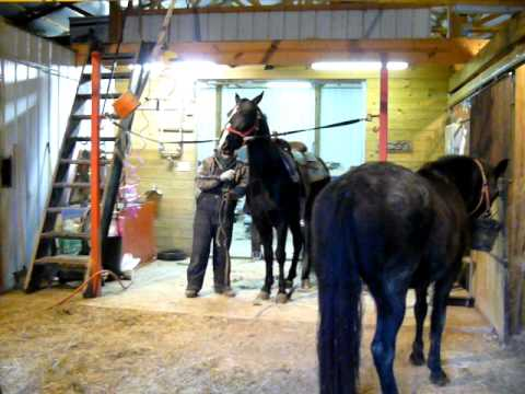 Saddling a stud in a barn full of mares,some in heat can be easy with the right walking horse