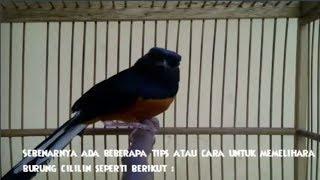 suara burung jalilin mp3 fast download free   mp3to