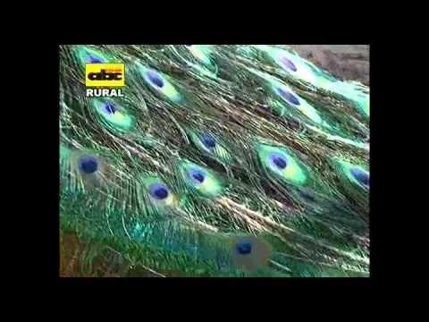Cría de aves exóticas: El Pavo Real