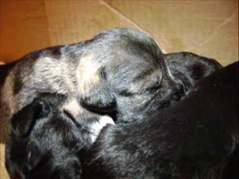 Cachorros Schnauzer 13 dias de nacidos