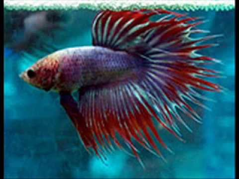 Fighter fish types - photo#16