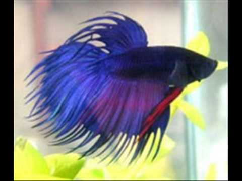 Taking care of your own betta fish youtube for How to care for a betta fish