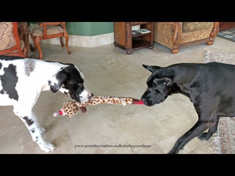 Funny Great Danes Play Tug of War with Giraffe Toy