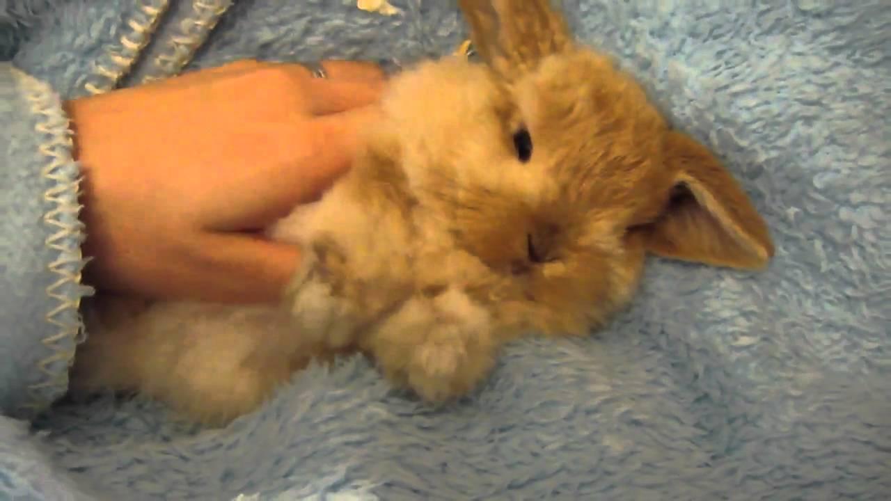 miniature lop eared bunny   qq summer   getting a good