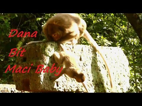 Adorable Baby Maci Monkey Got Weaning and B.ITE BY Dana | Baby Maci Screaming Loudly | Monkey Crying