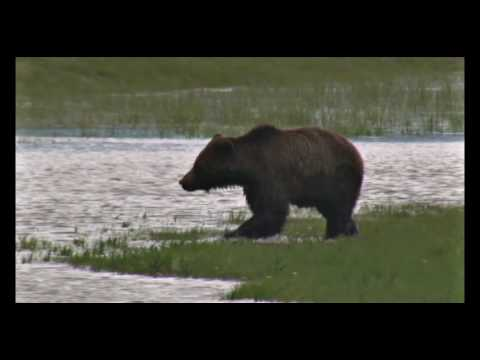 Grizzly Bears - Yellowstone National Park